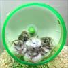 Cuteness Overload (meniscuslens) Tags: pet hamster