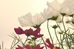 Delicate life (Psychic Insights) Tags: pink light summer sun white plant flower nature outdoors petals whitebackground blooms