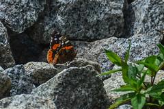 Red Admiral (ajblake05) Tags: canada britishcolumbia butterflies insects redadmiral lepidoptera northamerica coquitlam lowermainland greatervancouver nymphalidae vanessaatalanta hexapoda papilionoidea minnekhadaregionalpark nymphalinae
