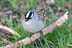 2016 White-crowned Sparrow (DrLensCap) Tags: chicago bird robert point illinois il sparrow montrose kramer sanctuary whitecrowned