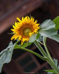 Black Forest Open Air Museum Vogtsbauernhof Sunflower (mahesh.kondwilkar) Tags: germany sunflower blackforest avalon vogtsbauernhof avalonwza blackforestopenairmuseumvogtsbauernhof avalonwzaday2