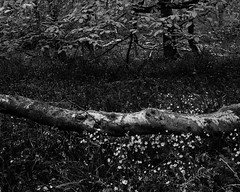 Tree on the ground with Daisies and Bluebells (Hyons Wood) (Jonathan Carr) Tags: flowers bw white abstract black tree monochrome leaves daisies rural woodland landscape fallen 4x5 abstraction northeast largeformat buttercups 5x4 anient