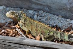 B36C4107 (WolfeMcKeel) Tags: vacation green keys spring key florida wildlife lizard iguana largo 2016 floridakeys2016vacationspring