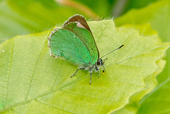 JWL7650  Hairstreak!... (jefflack Wildlife&Nature) Tags: nature butterfly insect countryside butterflies insects lepidoptera hairstreak rodborough greenhairstreak