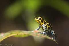 Resplendent Ranitomeya (antonsrkn) Tags: blue wild macro peru southamerica nature toxic animal yellow forest outside leaf nikon colorful bright wildlife conservation amphibian frog climbing jungle spotted poison nikkor biology dart mimic poisondartfrog herp biodiversity zoology herpetology imitator tarapoto arboreal dendrobatidae poisonfrog dartfrog aposematic dendrobatid ranitomeya cordilleraescallera