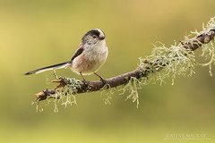 Long-tailed tit (Steve Mackay) Tags: bird nature birds animal animals wildlife stevemackay longtailedit
