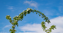 Give and Receive (Mister Oy) Tags: blue abstract green nature spring arch blossom may bluesky help giving curve hawthorn davegreen oyphotos fuji55200mm fujixt1 oyphotos