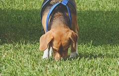 Memoria Olfativa (Carmen Marval) Tags: park parque dog pet naturaleza verde green beagle nature grass animal outside nikon walk venezuela perro pasto latinoamerica coolpix animales mascota cesped anzoategui olfateando anzotegui l830