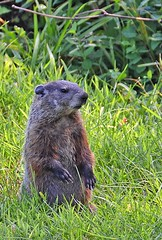 Garden Invader (linda montemarano) Tags: nature animal wildlife woodchuck groundhog pest
