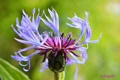 Cornflower blue (mistinguette.mistinguette) Tags: blue wild plant flower macro dof bright outdoor serene cornflower bleuet rememberence