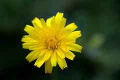 IMG_8887.CR2 (jalexartis) Tags: flowers flower spring dandelion bloom blooms