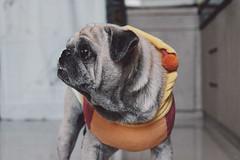 Random test shoot (masuria sudjana) Tags: dog pug fujifilm 1855mm xf xe2