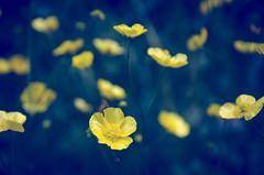 """Botó d'Or""/""Golden button""- Ranunculus acris L. (nuriapase) Tags: blue summer camp flower primavera nature fleur field yellow spring flor natura amarillo campo blau groc estiu ranunculusacris goldenbutton botodor"