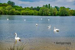 Swan Lake (Alanchippyh) Tags: pink blue sky bird birds animal clouds outdoor swans aquatic waterreflections treewater sony77ii