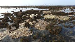 Mass coral bleaching at Cyrene Reef, 8 Jun 2016 (wildsingapore) Tags: nature marine singapore underwater wildlife coastal threats intertidal reef seashore bleaching marinelife cnidaria wildsingapore cyrene scleractinia