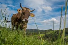 Braunvieh (Florian Maucher) Tags: cow rind weide bovine alpe brownswiss braunvieh jungvieh