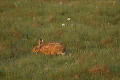 Seeking Out Those Tasty Morsels (Derbyshire Harrier) Tags: spring derbyshire peakdistrict dew sniffing grassland behavior grazing 2016 brownhare peakpark