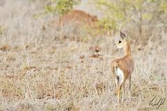 Steenbok- Kruger National Park, South Africa (wsweet321) Tags: africa bird nature southafrica mammal birding safari research endangered krugernationalpark kruger satara bigfive skukuza knp lowersabie
