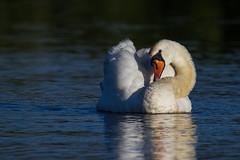 Swan in the morning sun (PINNACLE PHOTO) Tags: sun white water swimming rising canal swan walk feathers billard navigation wey shylook