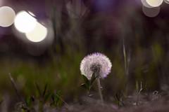 Taraxacum (::nicolas ferrand simonnot::) Tags: blue red white paris flower color green nature field vintage lens prime aperture purple bokeh 85mm 15 mount m42 1992 zenit manual russian depth f28 blades | taraxacum jupiter9 2016 preset зенит ƒ2 lzos юпитер9