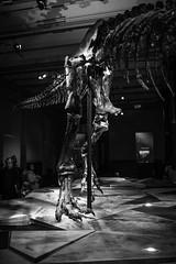 Tristan Otto (dirksachsenheimer) Tags: blackandwhite berlin museum tristan nikon dinosaur sigma otto sw monochrom trex tier tyrannosaurus tyrannosaurusrex d800 dinosaurier urzeit naturkunde schwarzweis naturkundemuseum saurier sigma35mmf14dghsm tristanotto