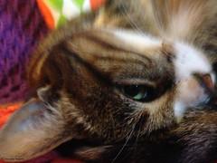 lilipense (alexandrarougeron) Tags: lili poupouce chat chatte cat poli oeil moustache beaut belle beau magnifique excellent rebelle douce bisous clin canaille paris lige montmartre douceur gentille poil fourrure minou