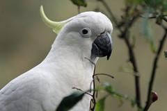 Cockatoo (iansand) Tags: cockatoo sulphurcrestedcockatoo lanecove sulfurcrestedcockatoo cacatuagalerita taxonomy:binomial=cacatuagalerita taxonomy:common=sulphurcrestedcockatoo