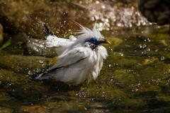 Bali Starling (mlomax1) Tags: bali bird canon zoo cheshire wildlife starling chesterzoo balistarling eos600d