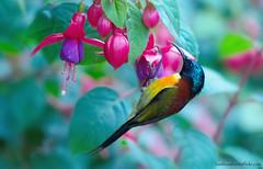 / Green-tailed Sunbird / Aethopyga nipalensis angkanensis (bambusabird) Tags: flower birds animals forest thailand nikon rainforest wildlife tropical chiangmai oriental sunbird doiinthanon bambusabird