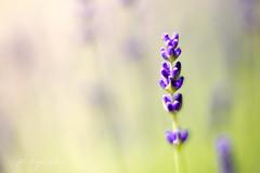 (kinga.lubawa) Tags: flowers flower colors canon spring sensual kwiaty kwiat kolory kolorowe słonecznie canon6d