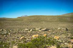 Wild Vicunas (Tydence) Tags: wild peru salinas blanca national reservation aguada vicunas