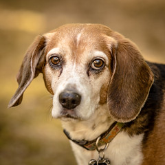 Princess Beauty (Wade Brooks) Tags: 2016 beauty beagle dog fidofriday alex dad dukegardens jacqui remus april lois minnie