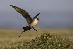 Long-tailed Jaeger (www.studebakerstudio.com) Tags: bird nature wildlife flight landing jaeger nome longtailedjaeger longtailed