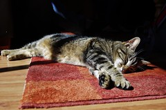 Sunbathing (Sundornvic) Tags: light pet sun cat carpet shadows shine floor tabby rug sunbathing