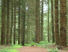 Pine wood (ekaterina alexander) Tags: pictures wood trees england tree nature pine forest woodland photography sussex evergreen pines alexander ekaterina