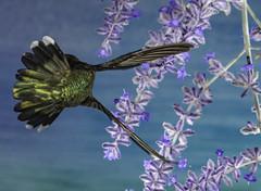 Annas Hummingbird On Maneuvers (Bill Gracey) Tags: flowers flores detail nature fleur turn flying hummingbird feeding flor flight clarity sharp poway hummer bif annashummingbird naturephotography birdinflight maneuver calypteanna manualmode offcameraflash paintedbackdrop avianphotography aerialmaneuver yn560 yn560ii yongnuorf603n yn560iii