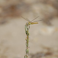 Red-veined darter (taylor_pj) Tags: insect dragonfly liblula insecto albufera