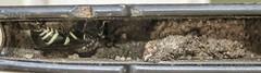 Ancistrocerus adiabatus (Mason Wasp) (June 15, 2016) (8 of 12) (Andre Reno Sanborn) Tags: vermont unitedstates barton masonwasp potterwasp ancistrocerusadiabatus