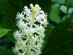 Blütenspitze der Indischen Kermesbeere (Jörg Paul Kaspari) Tags: white flower garden juli blüte garten trier blüten weise 2016 weis indische phytolacca kermesbeere phytolaccaacinosa acinosa gemeinschaftsgarten