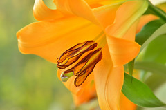 DSC_8829revi (junjiaoyama) Tags: flower japan lily