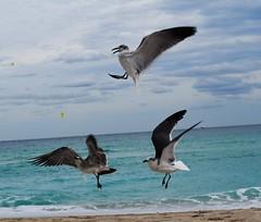 alto (pilarroldan) Tags: mar playa gaviotas volando