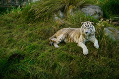 (Pablo__R) Tags: wild nature naturaleza temaiken tiger tigre blanco white