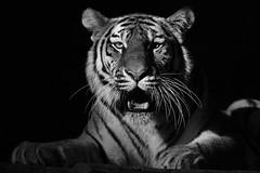 """Tg Nbg     """" Hallo Katinka""""       160623 (Eddy L.) Tags: tiergartennrnberg tiergartenfreundenrnbergev nuremberg tiger katinka 5jahrealt sibirischertiger amurtiger ussuritiger pantheratigrisaltaica siberiantiger tigredesibrie amurskiytigr tigresiberiano siberiantijger portrait minoltaafreflex500 sonyphotographing wildfelinephotography wildcatworld schwarzweis sw bw monochrome blackwhite blackandwhite biancoenero blanconegro noiretblanc blackintheback schwarzerhintergrund"""
