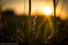 Beautiful Sunset (Diverse-Media.nl) Tags: sunset sky orange sun macro green grass yellow set contrast photography gold golden media diverse bokeh sony hour gras goldenhour arkel sonyalpha bokehlicious achterdijk sonya58 diversemedia diversemedianl dmnat
