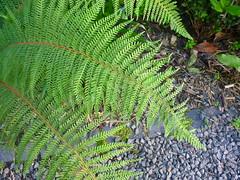 Schildfarn-Wedel (Jrg Paul Kaspari) Tags: fern juni grau grn wedel farn basalt trier petrisberg polystichum 2016 anthrazit farnwedel polystichumsetiferum setiferum schildfarn basaltsplitt