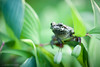 Gray Tree Frog (www.matthansenphotography.com) Tags: graytreefrog frog amphibian treefrog wildlife animal nature macro green plants leaves matthansenphotography outdoors small eye arborealfrog