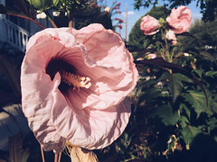 181/366 (moke076) Tags: pink flowers atlanta summer plant flower nature oneaday mobile project georgia bush cellphone cell hibiscus photoaday huge 365 rosemallow cabbagetown iphone 2016 366 project365 365project project366 vsco vscocam