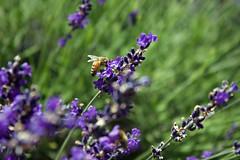 Lavender Festival! (Savannah Glitschka) Tags: nature ivory lavender futaba smartdoll