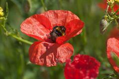 Polynation (Tony Shertila) Tags: red england flower liverpool insect geotagged flora europe unitedkingdom britain outdoor petal bee poppy wildflower merseyside everton gbr evertonward geo:lat=5342001896 geo:lon=296997786 20160623101742