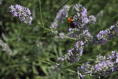 Bombus (Paolo Fusari) Tags: flower nature lavender bee ape pollen insetto bombus lavanda polline